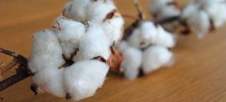 cotton-branch-1271038_1280.jpg