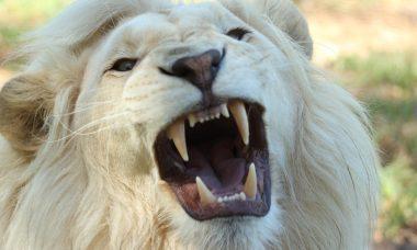 nature-lion-south-africa-whitelion-68421