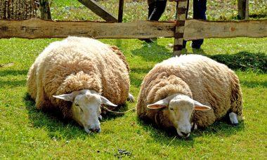 sheep-5012697_1920