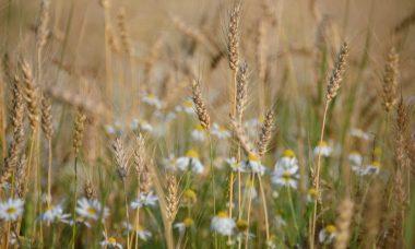 wheat-g584c4d359_1280-820x550